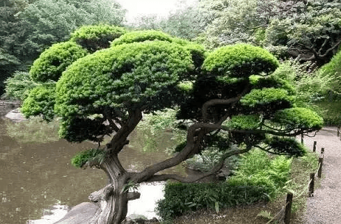 罗汉松盆栽