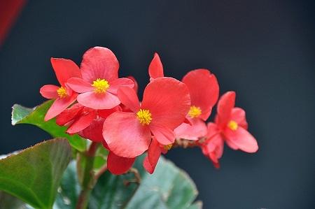 四季海棠的喜好