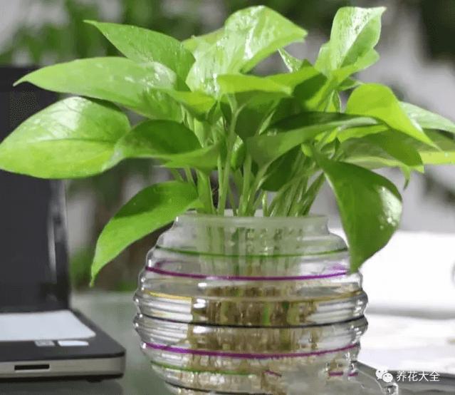 水培瓶里加沙子促进生根