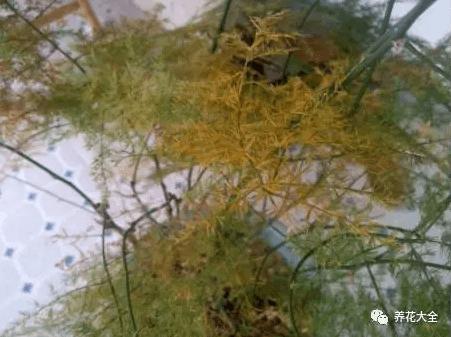文竹黄叶怎么办