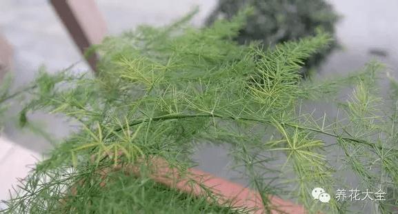 长期荫庇黄叶