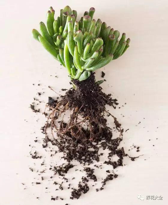 把多肉进行脱盆处理,清洗干净根系哦~那些比较细弱的根系都剪掉,因为会重新发根哦~