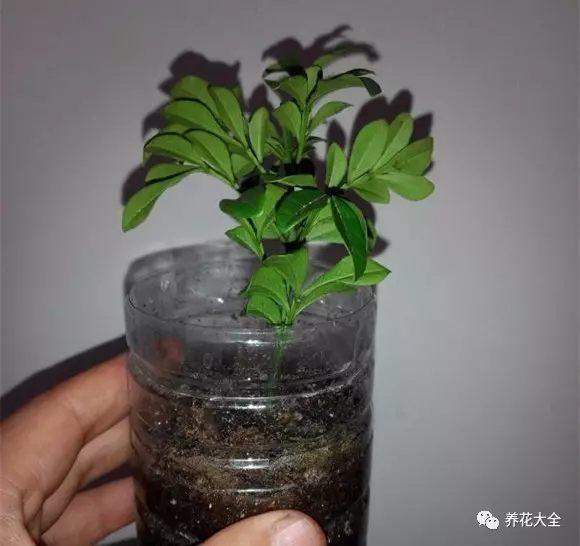 准备10 cm左右的插条,把下半部分的叶子摘掉。插进装有干净沙子的塑料瓶,浇透水。