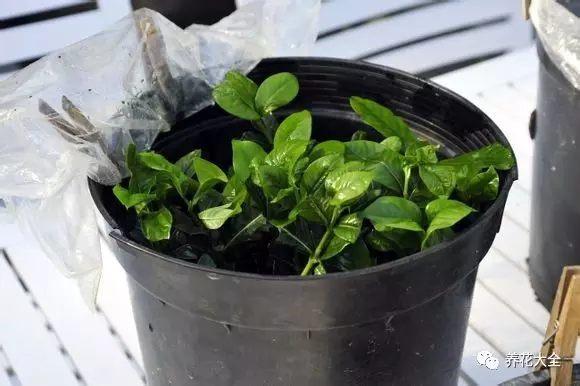 每天早晚用喷壶喷一次,一个月左右能够生根。