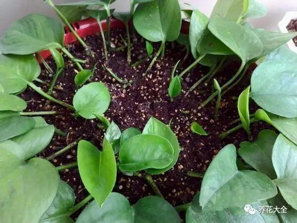 生根后不用移栽,直接放盆里长就很好看,注意定时打顶修型。