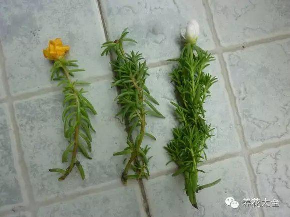 选择强健枝条,大概10cm即可。把枝条的底端切口晾干后,就能插进土壤中。
