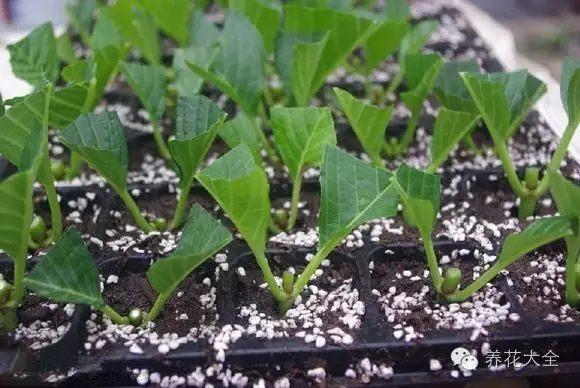 底端3cm埋进素沙里,保持湿润,2周后即可生根。