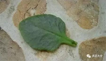 选择健康无病害的长寿花叶片,放在阴凉处晾干伤口。