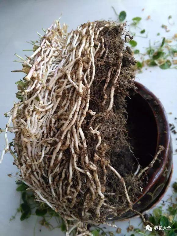 把根部从盆里拖出来,会发现根部已经长得很密集了。土中原有的营养基本耗尽。把老根剪掉,尽量不要碰到嫩白色的新根,等会可以分成多盆。