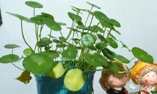 如果是个别叶子发黄,可能是正常的新陈代谢,剪掉发黄叶子就行。
