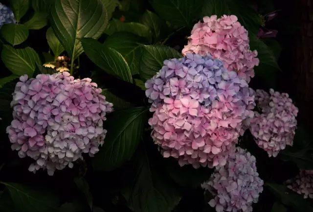 直接浇花即可,比如仙人掌、秋海棠、绣球花等。