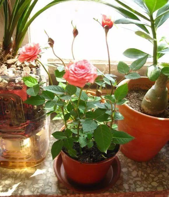 能防治杜鹃、长寿花、兰花、月季、石榴等植物的白粉病、炭疽病、瘟苗症等,效果极佳。