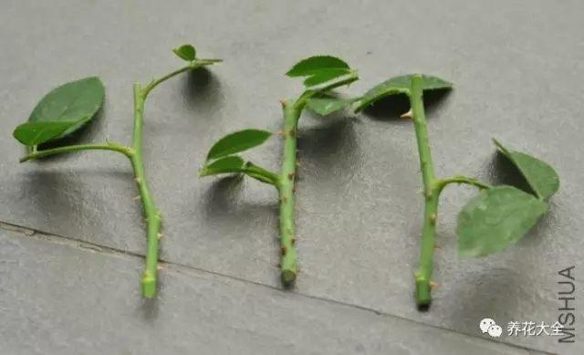 从月季枝条上剪下一段带芽点的枝条,然后在伤口上涂抹点多菌灵,或放在多菌灵溶液中浸泡10分钟以上,以促进消毒。