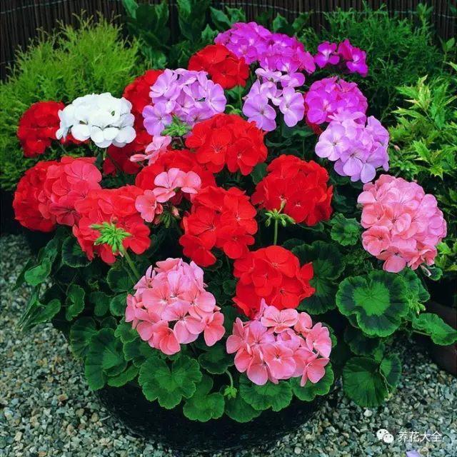 度过了炎热的夏天之后,很多休眠期的花都开始逐渐生长了。像是蟹爪兰、长寿花、天竺葵等,也可以从阴凉通风的地方转移到太阳下好好养护了。