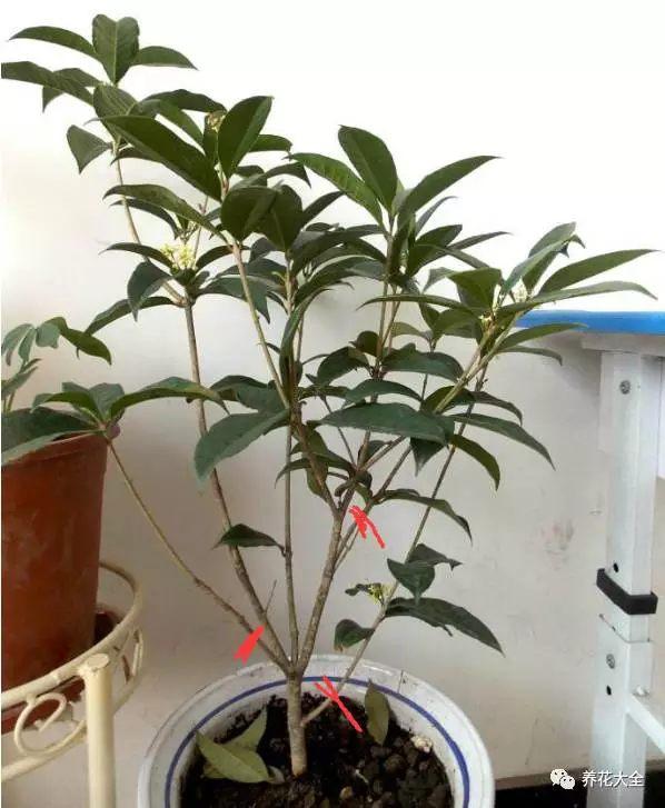 修剪的时候,一定将那些枯枝、病枝、徒长枝、过密枝全都剪掉,从而让植株保持良好的株型。