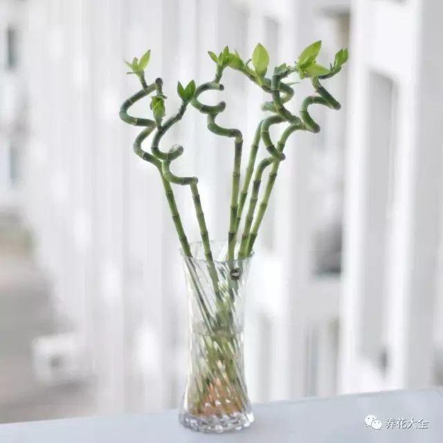 水培富贵竹不能直接用自来水,自来水中含有氯气和漂白粉,需在阳光下放置1天后才能使用。 当然,水培最好用纯净水。