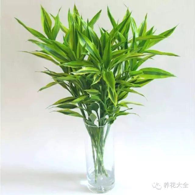 富贵竹生根前,应当加水不换水,这样能促进生根;富贵竹生根后,应5-7天换一次水,保证水质清洁,防止烂根。