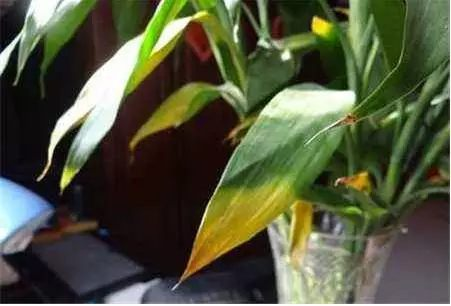 富贵竹缺少铁元素,也会发生黄叶,一般表现为叶片嫩黄。