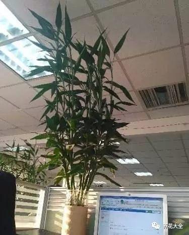 有时间就用喷壶在富贵竹周围喷雾,提高空气湿度。