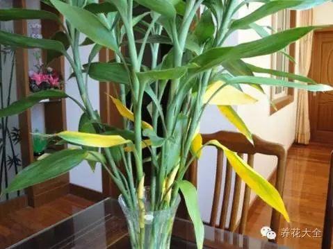 富贵竹接受剧烈的阳光直射,会黄叶干枯;长期荫庇不见光,会新叶嫩黄,叶片无光泽。