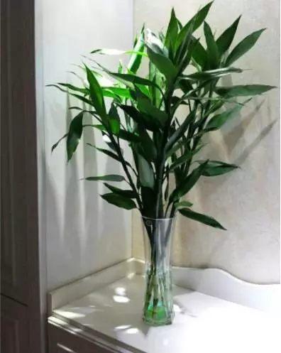 把富贵竹放在明亮通风的地方,剪掉黄叶,慢慢富贵竹会缓过来。
