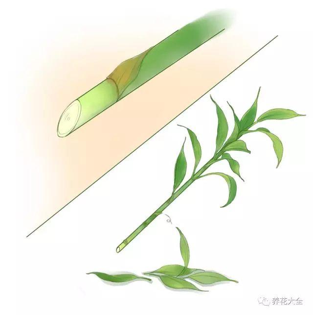 (1)摘掉富贵竹下半部分的多余叶片,把底部45度角斜切。