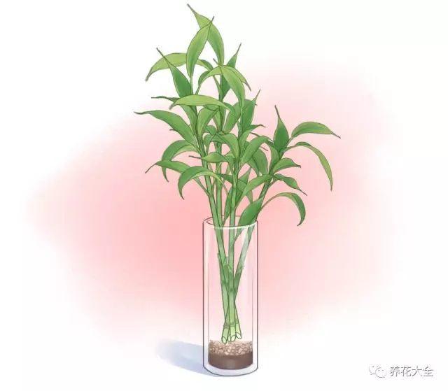 (3)在瓶中插入4、5棵富贵竹,注意不要放太多,不然植株太密,影响通风,容易黄叶。