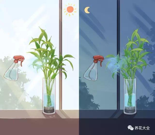 (5)把富贵竹放在明亮通风的地方,每天早晚在叶片上喷雾,保湿。