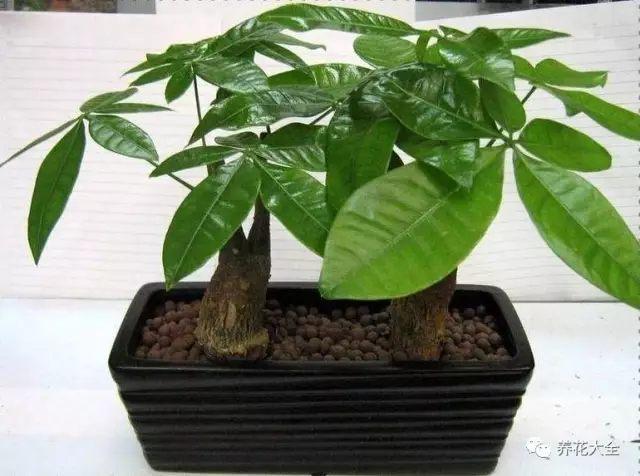 发财树喜欢散射光条件,过阴或过晒的环境都不利于它的生长,此外发财树的生长还需要良好的通风环境,客厅不管在光照还是在通风情况上,都非常有助于发财树的生长。