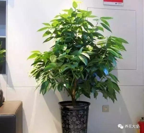 平安树——摆放在客厅