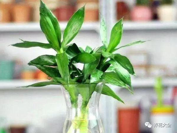富贵竹可以水培养护,对光照要求不严,平常不需要怎么管理,只要在里面加一点硫酸亚铁即可,放在门厅两侧,枝叶青翠,根系摇曳,十分好看。