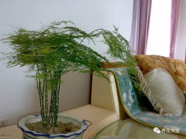 文竹叶片青翠,株型优雅,独具风韵,非常适合摆放在书房,能够营造清新淡雅的环境。养护起来也比较容易,书房的光照不是很强,有利于文竹叶片的生长,只要保持土壤湿润即可。