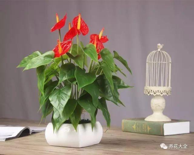 红掌花朵艳丽,用了装饰餐厅再合适不过啦。养护起来也很简单,浇水见干见湿,空气干燥时多向叶面喷水。