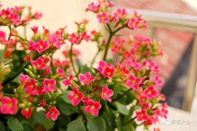 长寿花——摆放在餐厅