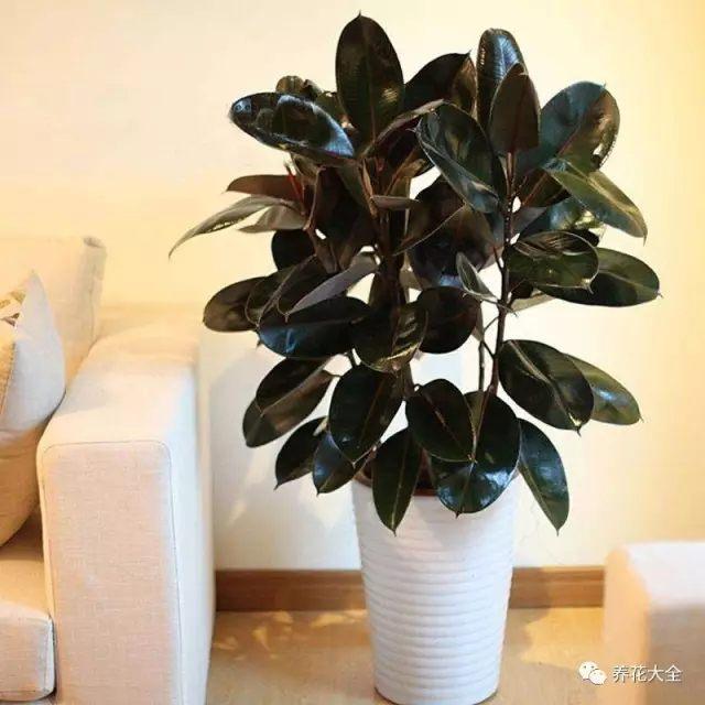 橡皮树——摆放在客厅