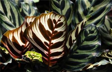 孔雀竹芋的生长属性