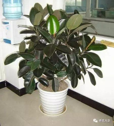 """橡皮树,又称""""黑金刚"""",也是公认的贱养花卉,怎么贱养它才能长得好呢?"""