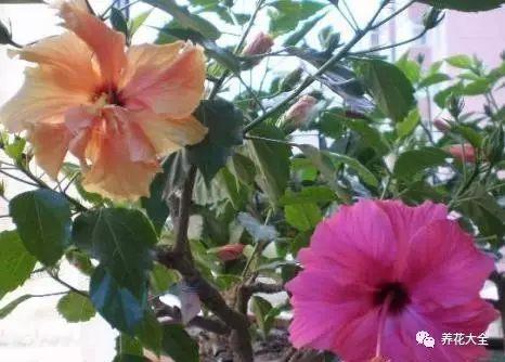 朱槿也是非常好养的花,夏秋季节开花,经常作为绿化带花卉,但现在很多花卉市场开始售卖小型盆栽,摆放在家里也非常好看。花色有白色、橙色、黄色、红色、粉色等等,更有重瓣品种。