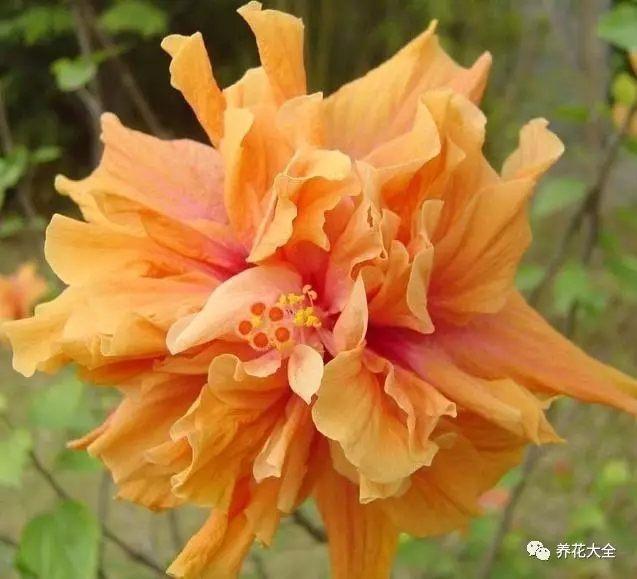 朱槿不需要经常施肥也能开爆盆,花花家里的朱槿只在换盆的时候在初春换盆的时候,在盆底撒了一层鸡粪肥,以后再也没施过,开花也非常茂盛,一批接一批,老妈都赞它开花机器。
