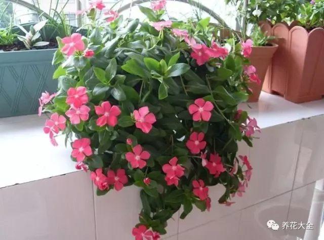长春花又叫四季梅、日日春,是花花养过的最好养的花卉,只要给它光照,它就能给你开爆盆。
