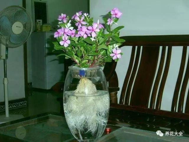 长春花也特别好扦插,基本剪下根枝,随手插在土里浇透水,就能活。还可以把枝条插在盛水的瓶子里,水培诱根,生根会更快,水培的长春花也能养开花。