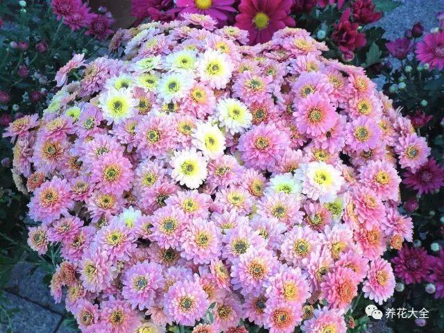 菊花也是好养的花卉,春夏可以养夏菊,一开一大片,壮观。秋冬可以养秋菊,花大,惊艳!