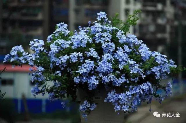 光照充足的南阳台,最适合养一些喜欢直射光照的花,也就是这些花越晒长得越好。比如太阳花、蓝雪花、矮牵牛、米兰等。