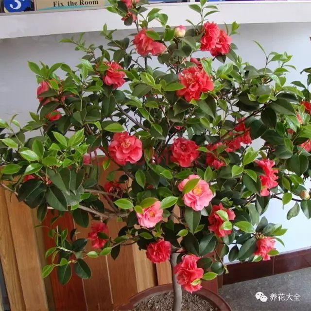东向阳台只有上午能晒到太阳,一到中午的时候太阳就没了,所以可以养一些短日照或稍耐阴的花。比如杜鹃、茶花、蟹爪兰等。