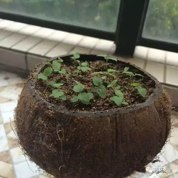 将椰子锯开,然后将里面的椰肉挖掉,之后再底部扎几个透水的小孔,就能当做花盆了。