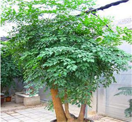 富贵树的常见病害