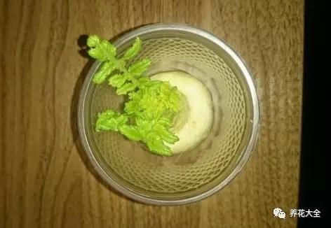 1、选择健康新鲜的萝卜,白萝卜、胡萝卜都可以。可以使用整个萝卜,将根部浸入到水培瓶中。