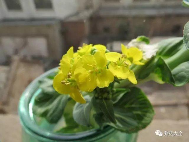 2、放在阳光充足的地方,4天换水一次,很快白菜头就会抽出嫩嫩的花芽。开花像水仙一样淡雅。