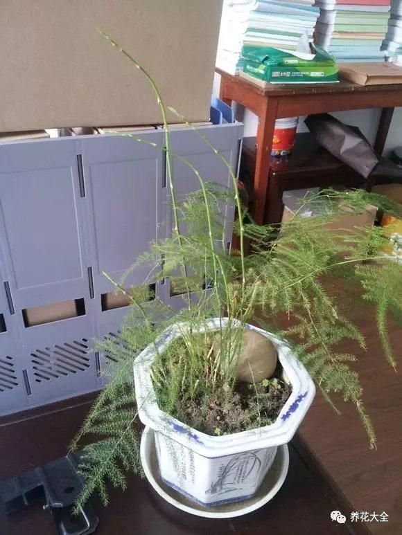1、图下这棵文竹只长枝,不长叶,光秃秃的很难看。必须要修剪一下。