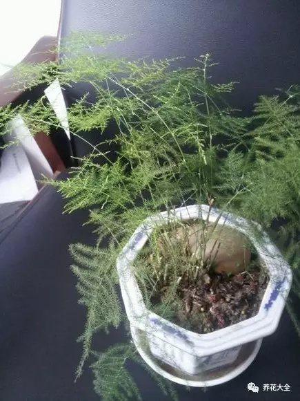 3、修剪次日减少浇水量。一周之内使土壤保持略干燥的状态,否则文竹会发黄打蔫。很快,底下就窜出来新叶子,看起来比之前丰满多了。这时可以恢复浇水了。